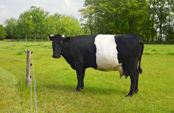 Belted Galloway Cow with distinctive white stripe Royalty Free Stock Images
