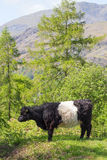 Belted Galloway Cow on hillside. A Belted Galloway cow standing on a hillside in the Lake District with the Old Man of Coniston fell in the background Royalty Free Stock Photo
