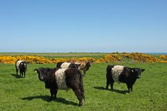 Belted Galloway Cows Royalty Free Stock Image