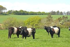 Belted Galloway Cows Stock Image