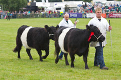Belted Galloway cows. NEWBURY, UK - SEPTEMBER 21: Handlers parade the champion Belted Galloway cows around the main show arena during the grand parade at the Royalty Free Stock Photo