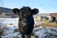 The Belted Galloway Royalty Free Stock Photos