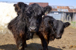 The Belted Galloway Stock Photo