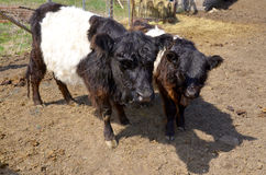 The Belted Galloway Stock Image