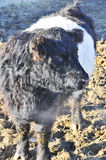 Belted Galloway Royalty Free Stock Image