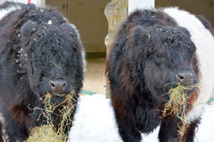 The Belted Galloway Royalty Free Stock Image