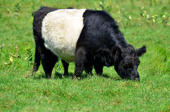 The Belted Galloway Stock Photography