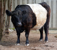 The Belted Galloway. Is a heritage beef breed of cattle originating from Galloway in South West Scotland, adapted to living on the poor upland pastures and Stock Photography
