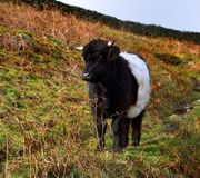 Belted Galloway on Low Pike. Belted Galloway sat by the footpath Royalty Free Stock Photos