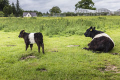 Belted Galloway Mum and Calf Farm Background Royalty Free Stock Photos
