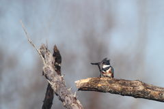 Belted King Fisher Royalty Free Stock Image