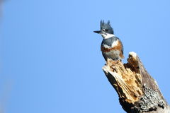 Belted King Fisher on a Perch Royalty Free Stock Photography