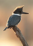 Belted Kingfisher royalty free stock photos