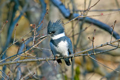 Belted Kingfisher Stock Image