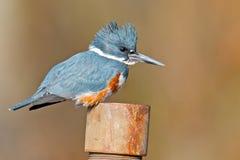 Belted Kingfisher. Female Belted Kingfisher Sitting on pole Stock Photo