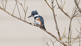 Belted Kingfisher on a branch Royalty Free Stock Images