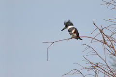 Belted Kingfisher (Ceryle alcyon) Royalty Free Stock Photo