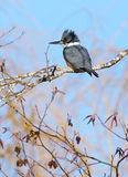 Belted Kingfisher - Ceryle alcyon Royalty Free Stock Images