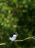 Belted Kingfisher - Ceryle alcyon Stock Photography