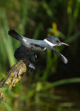Kingfisher. A male Belted Kingfisher launches himself off a stump in search of his next prey Royalty Free Stock Photos