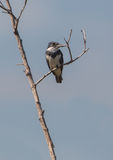 Belted Kingfisher on dry branch Royalty Free Stock Photography