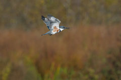 Belted Kingfisher Royalty Free Stock Photography