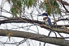 Belted Kingfisher Stock Photography