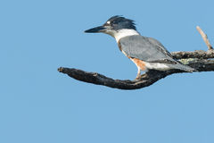 Belted Kingfisher. Female Belted Kingfisher perched on a dead branch Royalty Free Stock Photos