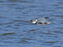 Belted Kingfisher in Flight Stock Photos