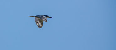 Belted Kingfisher in flight Stock Photo