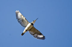 Belted Kingfisher Flying in a Blue Sky Stock Photos