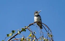 Belted Kingfisher Stock Photos
