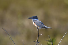 Belted kingfisher, megaceryle alcyon Stock Images