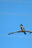 Belted Kingfisher, Megaceryle alcyon Royalty Free Stock Photos
