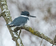 Belted Kingfisher in a snow storm Royalty Free Stock Images