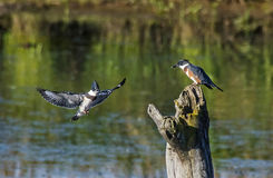 Belted Kingfishers Royalty Free Stock Images