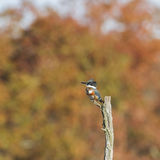 Belted Kingfisherwith fall background Stock Image