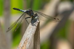 Belted Whiteface Dragonfly - Leucorrhinia proxima. Male Belted Whiteface Dragonfly perched on a dead reed. Also known as a Red-waisted Whiteface. Carden Alvar Stock Images
