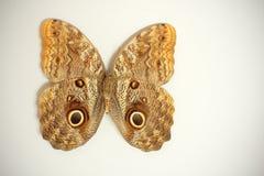 beltrao motyla caligo obrazy royalty free
