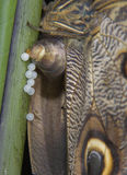 Beltrao van de vlindercaligo van de uil Stock Foto's