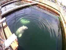 Beluga δελφινιών στη μάντρα απόθεμα βίντεο
