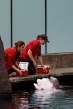 beluga φάλαινα μόσχων Στοκ φωτογραφία με δικαίωμα ελεύθερης χρήσης