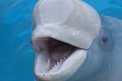 beluga φάλαινα Στοκ φωτογραφία με δικαίωμα ελεύθερης χρήσης