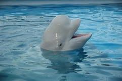 Beluga φάλαινα (άσπρη φάλαινα) Στοκ εικόνα με δικαίωμα ελεύθερης χρήσης