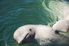 Beluga. Whale swimming in the water Stock Images