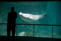 Beluga in aquarium Royalty Free Stock Photo