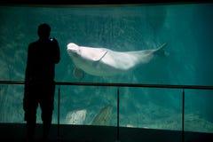 Beluga in aquarium royalty free stock photo