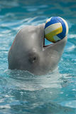 Beluga in a dolphinarium. White whale (beluga) playing with a ball in the doplhinarium, Crimea peninsula Stock Images