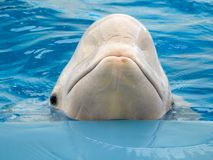 Beluga whale in the pool. Beluga on the edge of the pool Stock Photos