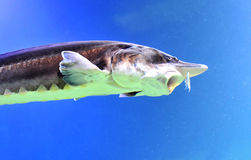 Beluga Sturgeon Royalty Free Stock Photography